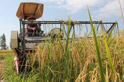 کاشت مکانیزه برنج