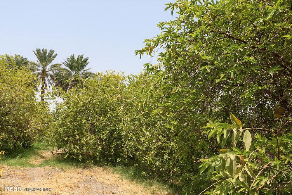 باغ زیتون در شهرستان هشت بندی