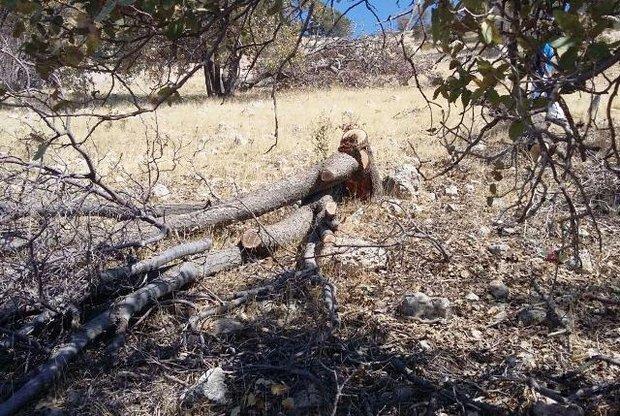 قطع درخت در یاسوج