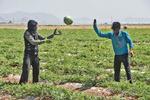 İsfahan'da karpuz hasadı başladı