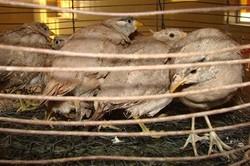 دستگیری شکارچیان کبک در شهرستان اسدآباد