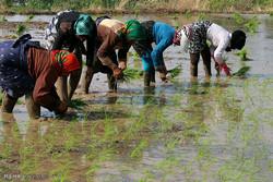 فیلم:اگر یک دانه برنج هدر بدهیم!