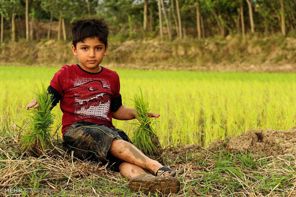 نشاء برنج در شالیزارهای گلستان