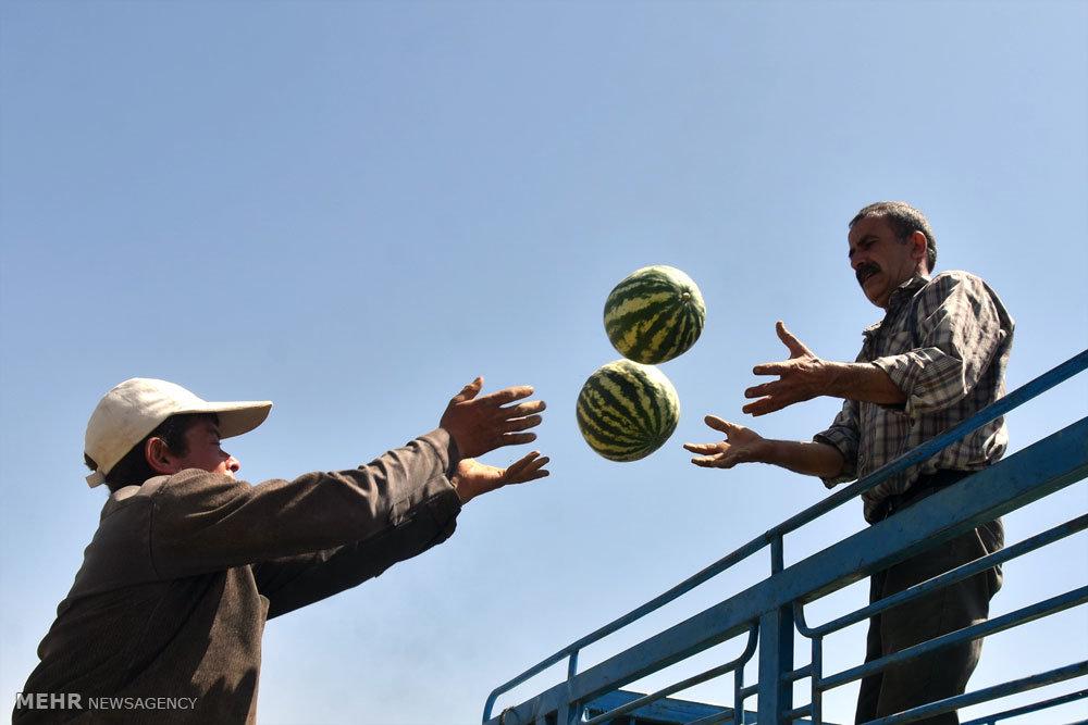 برداشت هندوانه از مزارع دشت پرزان شهرضا