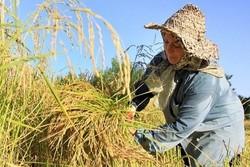 نظارتی برفروش برنج درتهران نیست/ جنس بیکیفیت گرانتر است!