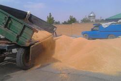 خرید بیش از ۱۰۰ هزار تن گندم تضمینی توسط تعاون روستایی کردستان