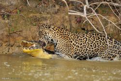 چیتے اور مگر مچھ میں شدید لڑائی