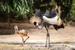 Grey crowned crane birthday celebrated