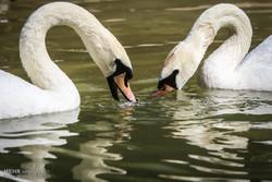 مهاجرت تنها یک «درنای سیبری»به اردبیل/ شناسایی هفت پرنده آسیبپذیر