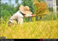 برداشت برنج در کشور آغاز شد/ تولید ۲.۳ میلیون تن برنج در سالجاری