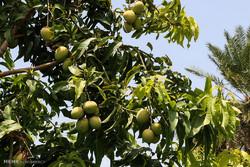 سالانه ۷۰۰ هکتار باغ در کهگیلویه و بویراحمد احداث می شود