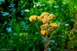 گیاهان دارویی بروجرد
