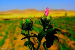 Medicinal herbs of Zagros Mountains