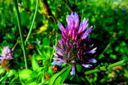 حفاظت منابع طبیعی فارس از گیاهان دارویی/ برداشت ممنوع