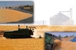 پیش بینی تولید ۶۵۰ هزار تن گندم در آذربایجان غربی