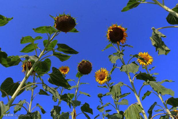 Sunflower fields in North Khorasan