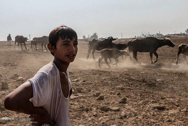 گاومیش آباد,محله گاومیش آباد در اهواز,اهواز و گاوهایش,گاوهای اهوازی,زیست محیطی گاومیش ها