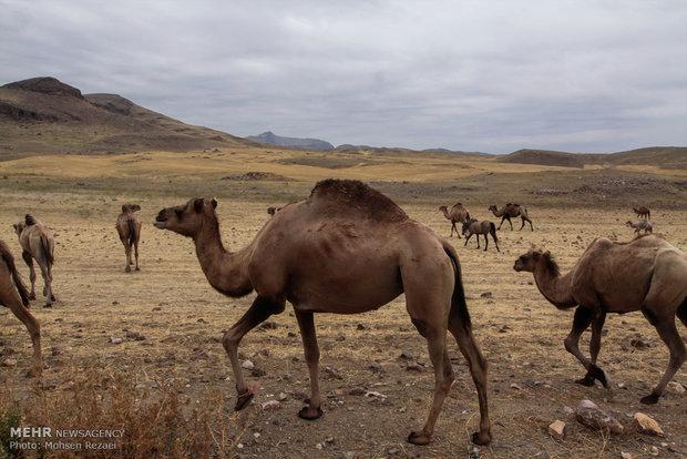ظرفیت پرورش ۱۶ هزار نفر شتر در اراضی بیابانی یزد فراهم شد