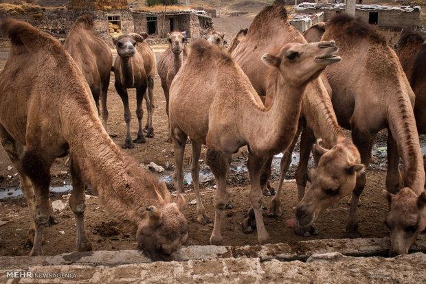 Erdebil'de deve yetiştiriciliği