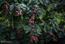 پرورش میوه تمشک