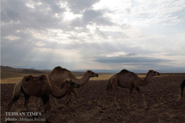 Camel breeding in Ardabil Province