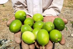 افزایش تولید لیموترش در استان بوشهر/۱۵۰ هزارتن خرما برداشت میشود