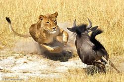 شیر کے ہاتھوں ہرن کا شکار