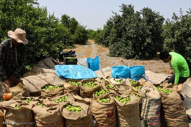 برداشت لیمو ترش در هشتبندی هرمزگان