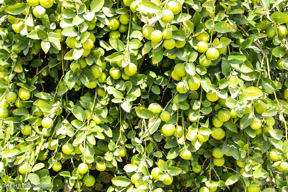 برداشت لیمو ترش