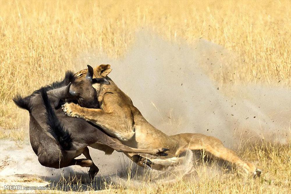 شکار گوزن یالدار توسط شیر