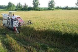 برداشت مکانیزه ونیمه مکانیزه برنج در۸۰ درصد شالیزارهای صومعه سرا