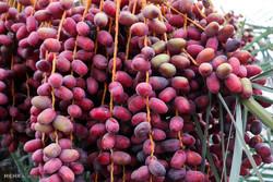 صندوق ملی حمایت از محصول خرما در بم راه اندازی می شود