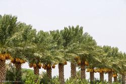اجرای بزرگترین طرح کشاورزی بوشهر با ۱۶ هزار میلیارد ریال اعتبار
