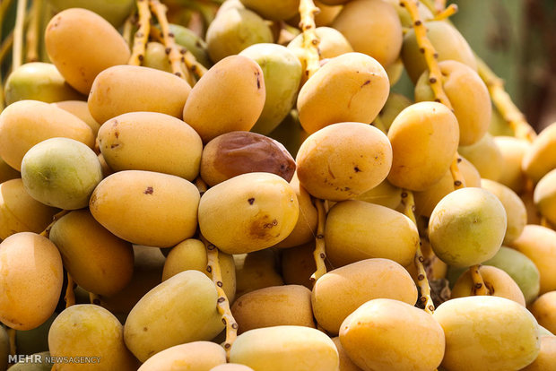 Date trees bear fruit in Hormozgan