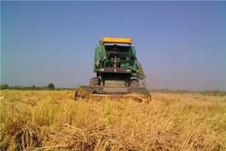 برداشت مکانیزه برنج در ۵ هزار هکتار از شالیزارهای فومن