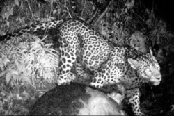 Camera trap captures Persian leopard
