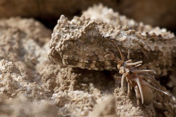 """""""أفعى ذيل العنكبوت"""" أقوى أنظمة التكيّف مع البيئة"""