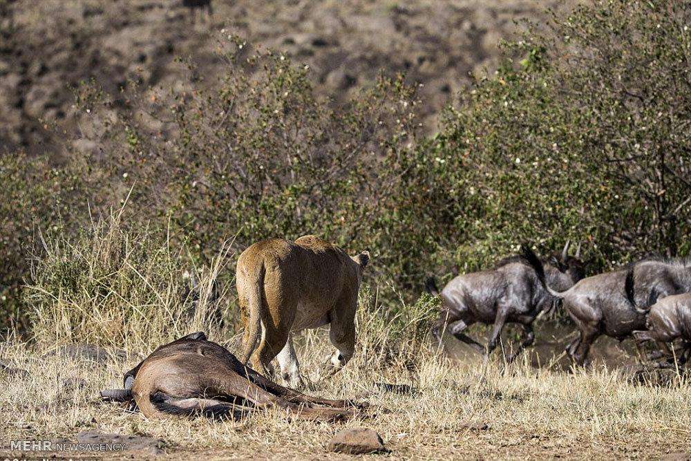 شکار گوزن یالدار توسط شیر گرسنه