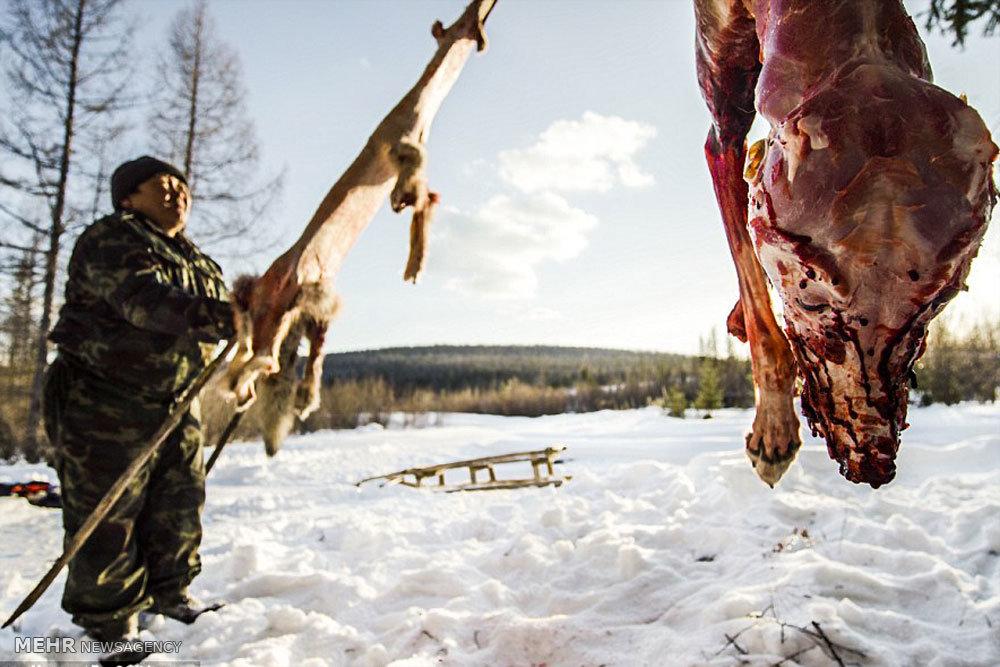 شکار گرگ در سیبری