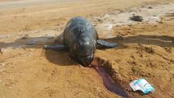 لاشه یک دلفین در کیش کشف شد