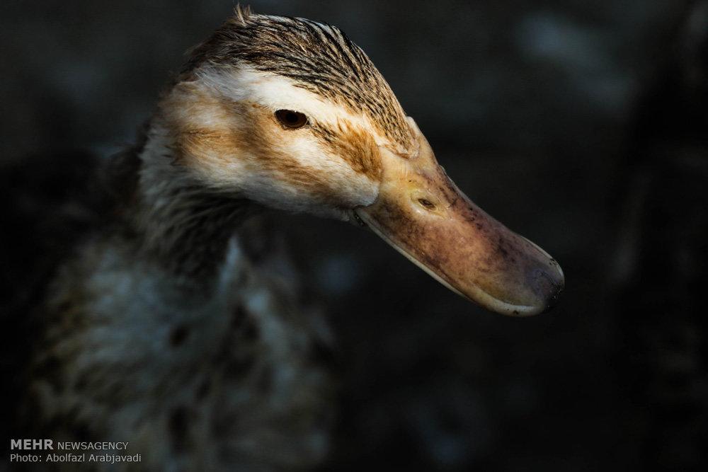 پرورش اردک در ورامین