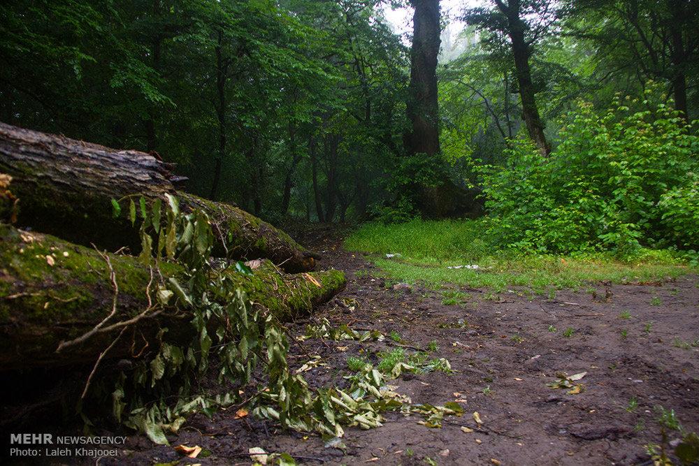 قطع درختان جنگل گلستان