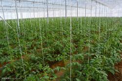 تولید بالغ بر ۳۰۰ هزارتن محصولات باغی و گلخانهای در کردستان