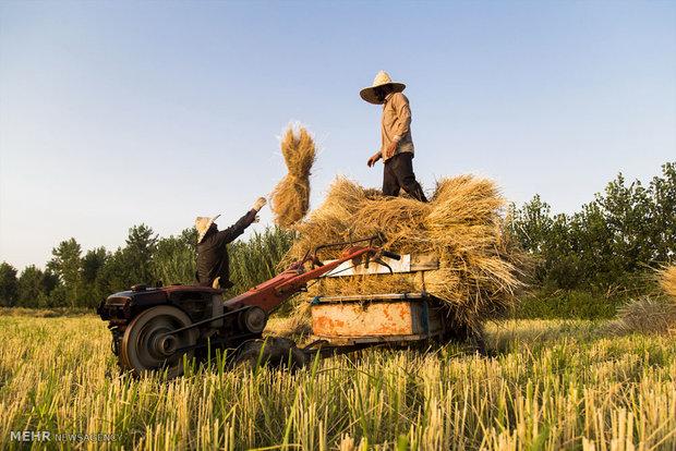 رشد ۸ درصدی تولید برنج/ برنج تراریخته در کشور تولید نمیشود