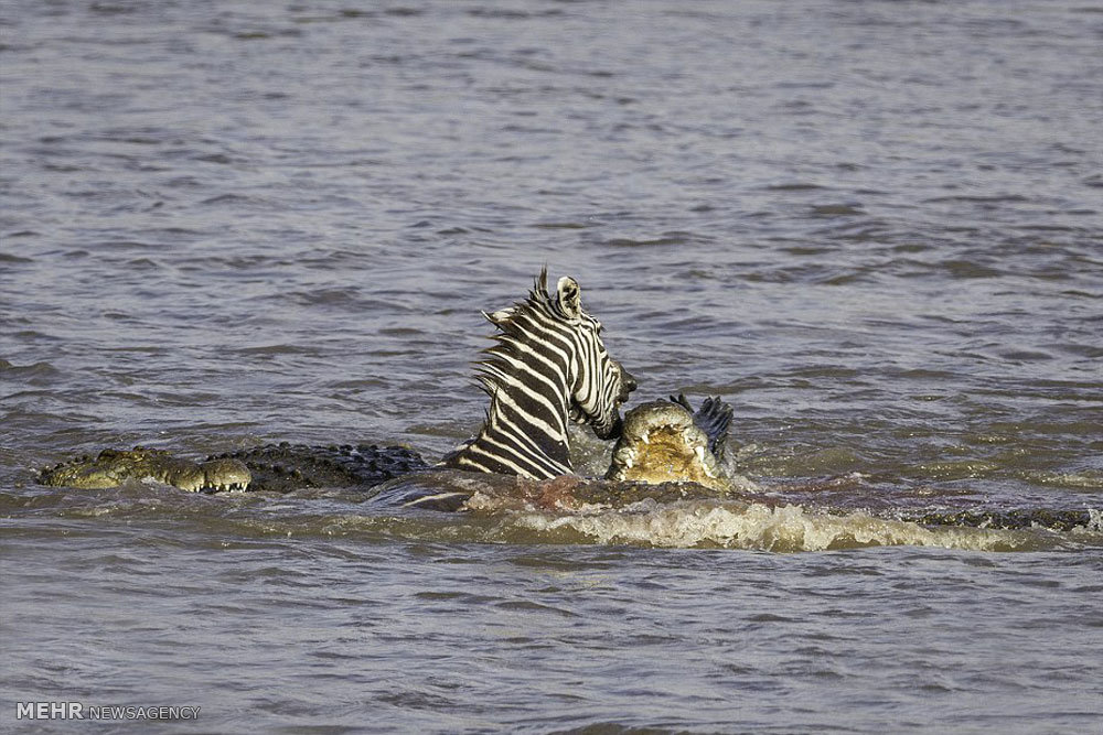 شکار گورخر به دست کروکدیل ها