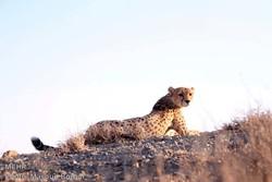 فهدتان وينقرض الفهد الآسيوي من ايران