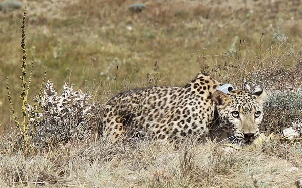 Female leopard 'Hircan' released back to the wild