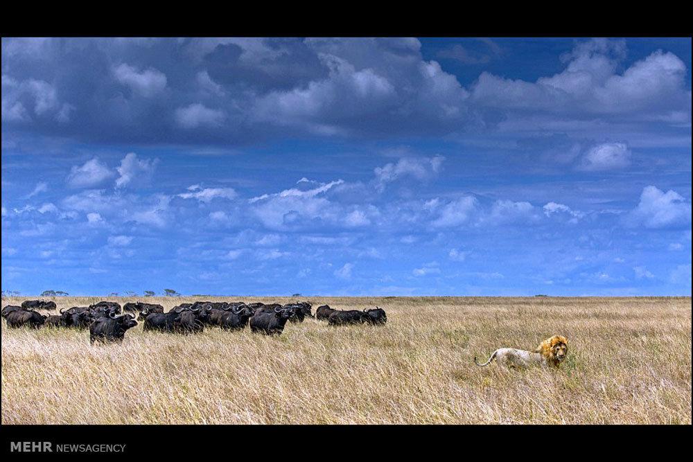فرار شیر از دست بوفالوها