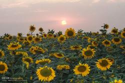 ۴۴۰ تن آفتابگردان از کشاورزان خراسان شمالی خریداری شد