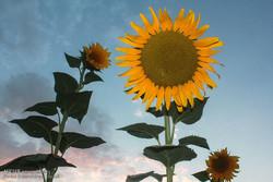 ۳۴ تن دانه روغنی آفتابگردان در مازندران خریداری شد